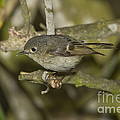 Ruby-crowned Kinglet by Anthony Mercieca