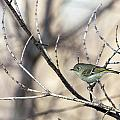 Ruby-crowned Kinglet by Jack R Perry