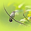 Ruby-throated Hummingbird - Immature Female - Archilochus Colubris  by Mother Nature