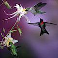 Ruby-throated Hummingbirds (archilochus by Richard and Susan Day