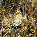 Ruffed Grouse On Drumming Log by Timothy Flanigan