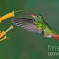 Rufous-tailed Hummer by Anthony Mercieca