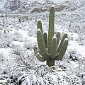 Saguaro Cactus After Rare Desert by John Shaw