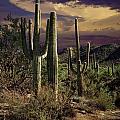 Saguaro Cactuses In Saguaro National Park by Randall Nyhof