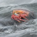 Sally Lightfoot Crab by Dr P. Marazzi