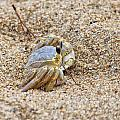 Sand Crab by Carolyn Ricks