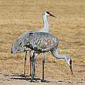 Sand Hill Cranes Eating by Tom Janca