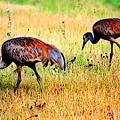 Sandhill Cranes by Kathy Sampson