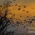 Sandhill Cranes by Mark Newman