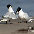 Sandwich Tern Bringing Fish To Its Mate by Anthony Mercieca