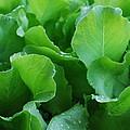 Santoro Lettuce 2 by Steve Masley