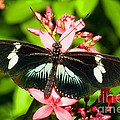 Sapho Longwing Butterfly by Millard H. Sharp