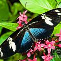 Sara Longwing Butterfly by Millard H. Sharp