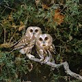 Saw-whet Owls by G Ronald Austing