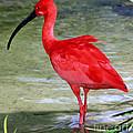 Scarlet Ibis by Millard H Sharp