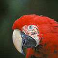 Scarlet Macaw by Buddy Mays