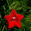 Scarlet Morning Glory by Ramabhadran Thirupattur