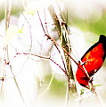 Scarlet Tanager by Travis Truelove