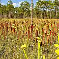 Schnell's Pitcher Plant by Rich Leighton