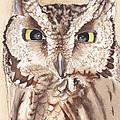 Screech Owl by Heather Stinnett