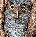 Screech Owl by Millard H. Sharp