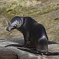 Sea Lion Pup by Eric Johansen