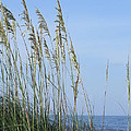 Sea Oats  by Cynthia N Couch