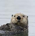 Sea Otter Alaska by Michael Quinton