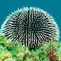 Sea Urchin by Roy Pedersen