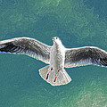 10427 Seagull In Flight by Colin Hunt