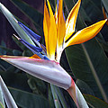 Seaport Bird Of Paradise by Linda Dunn