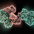 Selb Elongation Factor Bound To Rna by Science Photo Library