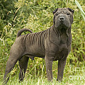 Shar Pei Dog by Jean-Michel Labat
