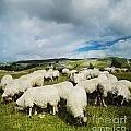 Sheep In The Field by Jelena Jovanovic