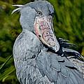 Shoebill Stork by Anthony Mercieca