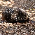 Short-beaked Echidna by Carol Ailles