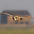 Short Eared Owl by Ian Hufton