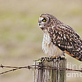 Short Eared Owl by Sharon Talson