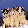 Siberian Husky Puppies by Rolf Kopfle