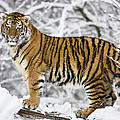 Siberian Tiger Juvenile by Konrad Wothe