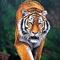 Siberian Tiger by Schmidt Roger