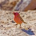 Sinai Rosefinch (carpodacus Synoicus) by Photostock-israel