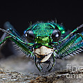 Six-spotted Green Tiger Beetle by Phil Degginger