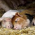 Sleeping Hogs  by Inga Spence
