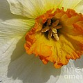 Small-cupped Daffodil Named Barrett Browning by J McCombie