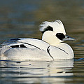 Smew by Jasper Doest