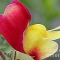 Snapdragon Named Floral Showers Red And Yellow Bicolour by J McCombie