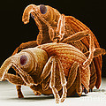 Snout Beetles by David M. Phillips