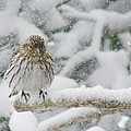 Snow Bird by Shannon Story