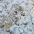 Snow Covered Trees by Chevy Fleet